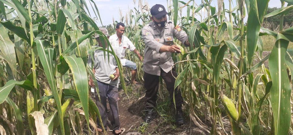 Cek Lahan Kampung Tangguh, Kapolsek Tebingtinggi Barat : Tanaman Tumbuh dengan Baik