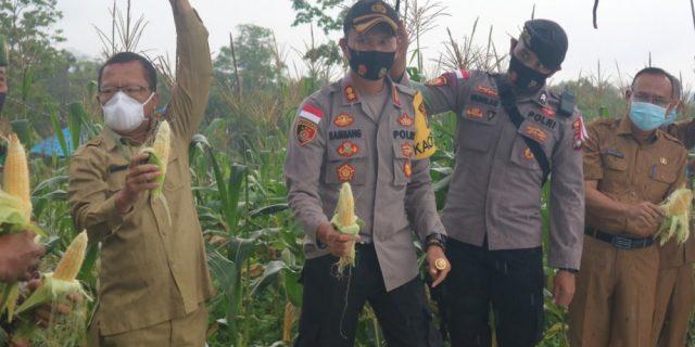 Dukung Ketahanan Pangan, Polres Bintan Gelar Panen Raya Jagung Manis Perdana