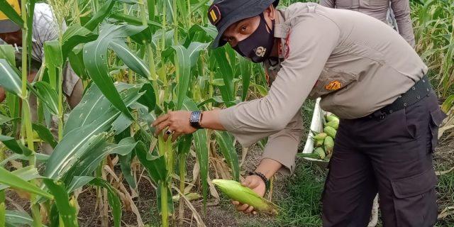 Polsek Tebingtinggi Barat Panen Jagung, Kacang Okra, Kangkung dan Kacang Panjang