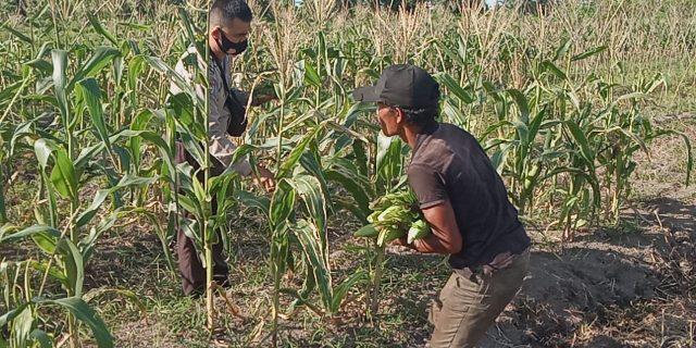 Lagi, Polsek Tebingtinggi Barat Panen Jagung di Kampung Tangguh